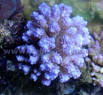 Coral Identification Photos Marine Aquarium SPS Corals