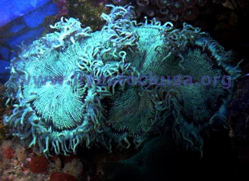 Coral identification photos marine aquarium fox and for Aquarium elegance