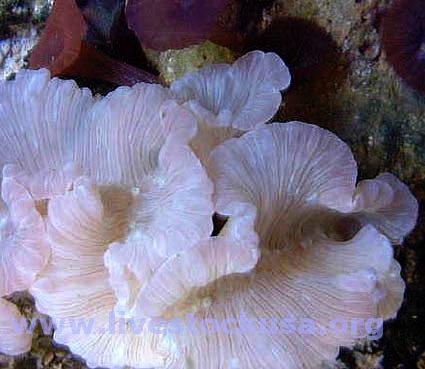 Coral Identification Photos Marine Aquarium Fox And