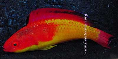 Hooded Wrasse