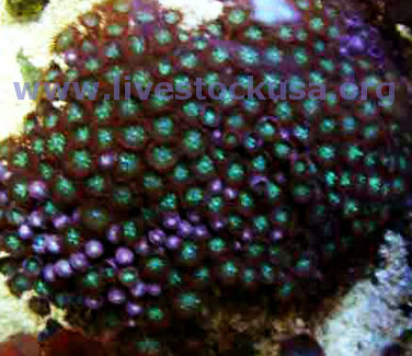 Red Sand Polyps