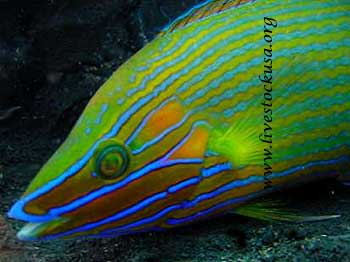 Richmondi Wrasse
