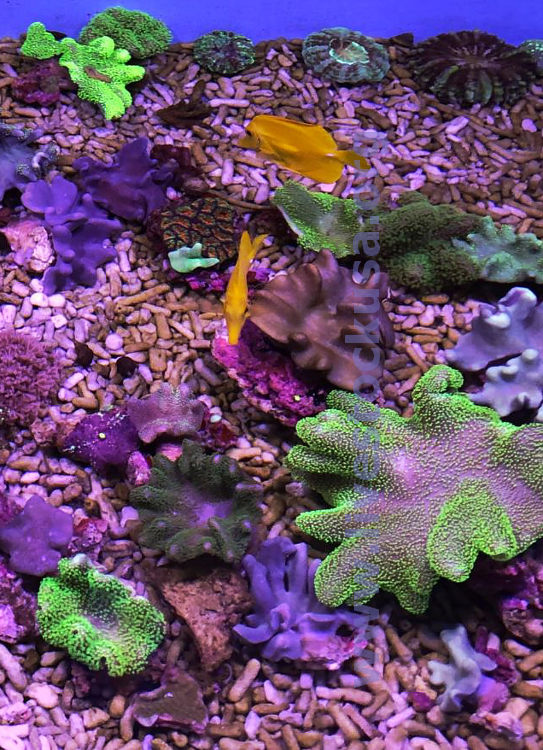 Australia Leather Corals