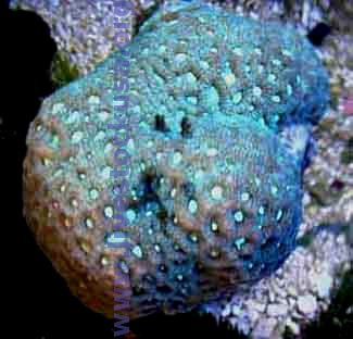 Coral Identification Photos Marine Aquarium Brain