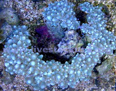 Pearl Bubble Coral