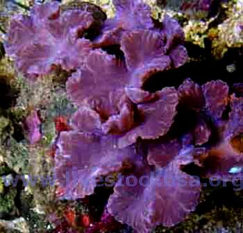 leather corals soft corals saltwater aquarium minireef